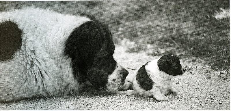 Gottfried Kumpf Bernhardiner Bari mit seiner Tochter der kleinen Berhardiner Dackelmischung Bella